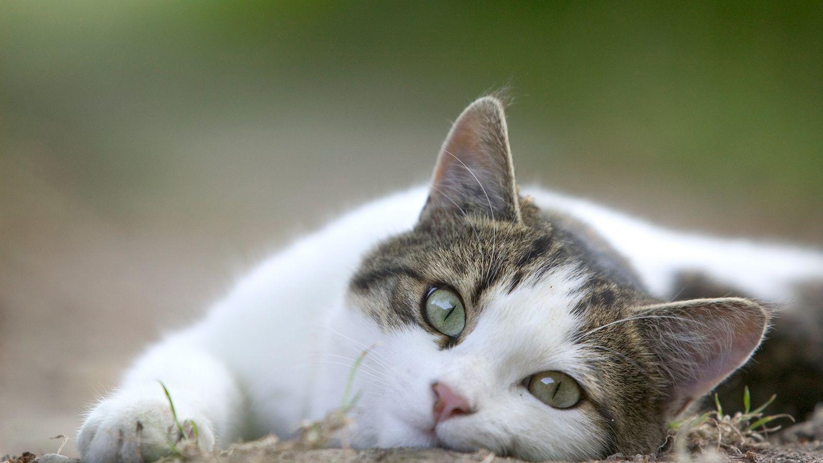 Los gatos y el poder sanador del ronroneo