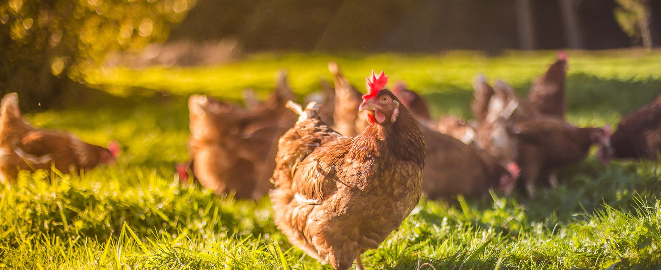 ¿Son los huevos de gallinas libres más saludables?