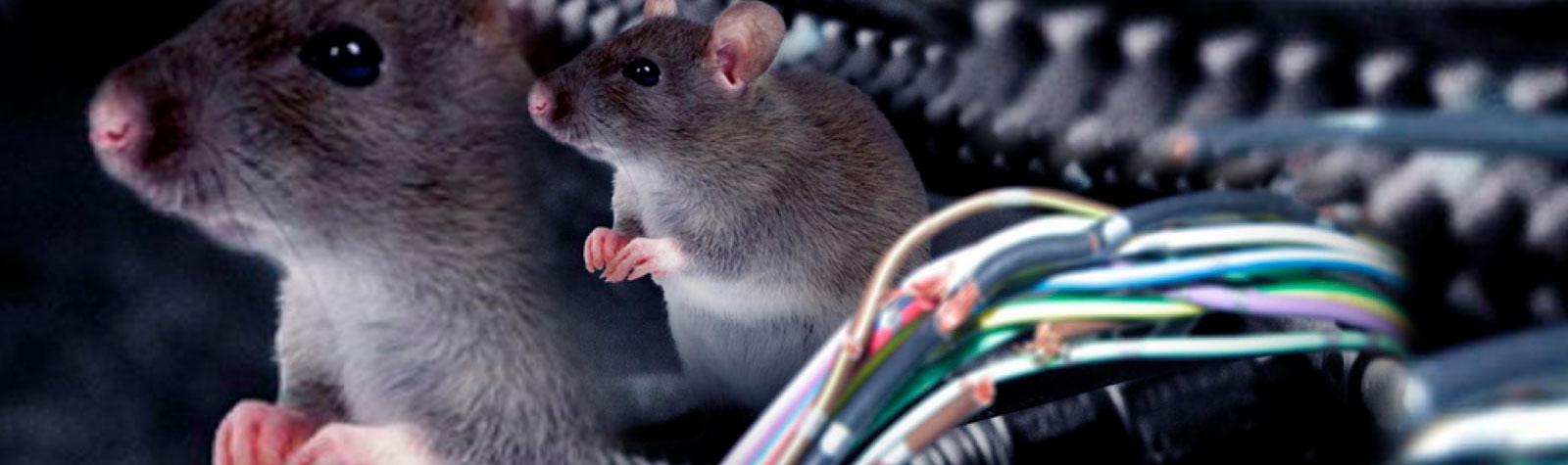 Autos detenidos en cuarentena: Presa fácil de los ratones