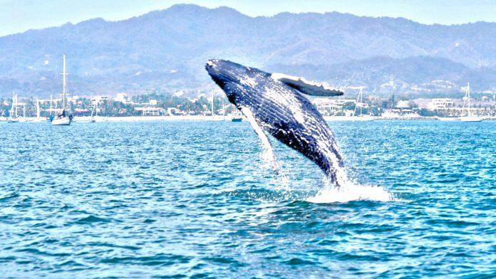 Cinco razones para no perderse la temporada de avistamiento de ballenas
