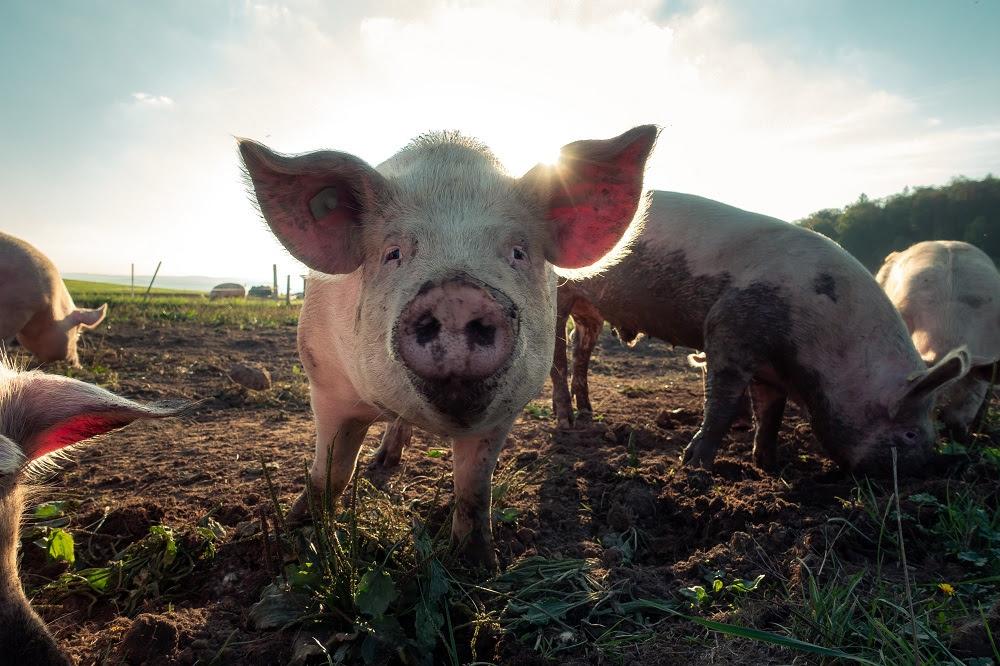 Más de 200 candidaturas constituyentes se han comprometido en incluir a los animales en la nueva constitución