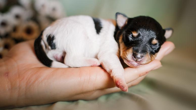 Fox Terrier Chileno: nuestra raza nacional canina