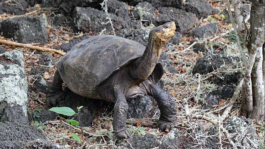 Ecuador confirma que tortuga hallada en Galápagos en 2019 corresponde a especie que se creía extinta hace 100 años